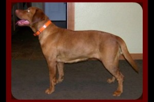 AKC STARTED FOX RED LABRADORS FOR SALE