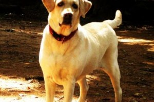 Collection of some more labrador retriever pictures sent in by our readers