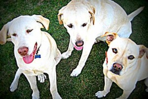 Labrador retriever pictures sibling love!