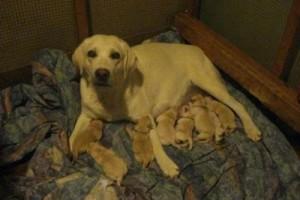 Labrador retriever loss of a dog