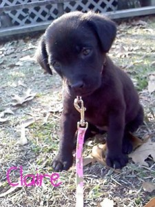 Acie Claire my baby chocolate lab
