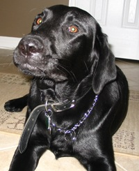 labrador retriever pictures