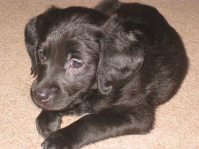Labrador Retriever Mix Pictures All About Labradors