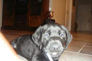 Black Lab Puppy Pictures