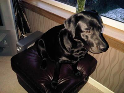 Which Labrador Retriever Is Smarter