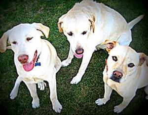 Labrador retriever pictures sibling love!