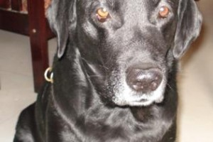 OUR LABRADOR DOG , OUR HEART PASSED AWAY