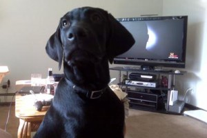 Some cute Labrador Retriever Pictures sent in by our readers