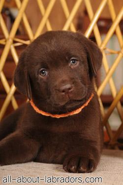 Small Chicolate Lab Puppy