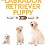 Your-Labrador-Retriever-Puppy-Month-By-Month-0